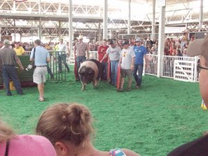 Otis - 1,103 lbs - Iowa State Fair Big Boar